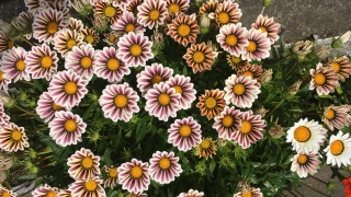 最近のきれいなお花