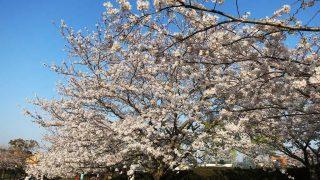 2018年の館山の桜