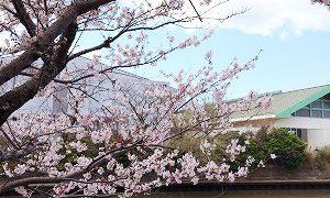 さくら咲く館山
